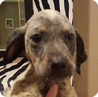 Boxer/Hound (Unknown Type) Mix Puppy for adoption in Charlotte, North Carolina - Brady