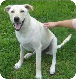 Labrador Retriever Mix Dog for adoption in Houston, Texas - Lily Girl
