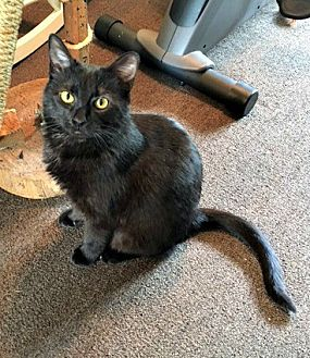 Domestic Shorthair Cat for adoption in Johnson City, Tennessee - Banjo