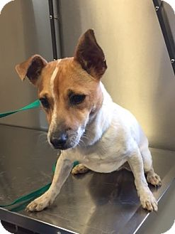 Jack Russell Terrier Mix Dog for adoption in Powder Springs, Georgia - Reagan
