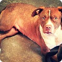 Adopt A Pet :: Lola - Odessa, TX