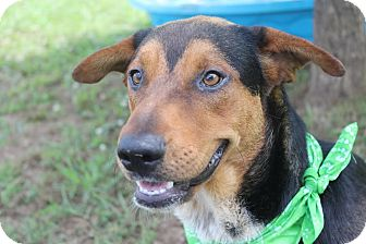Shepherd (Unknown Type)/Beagle Mix Dog for adoption in Coventry, Rhode Island - Stewart