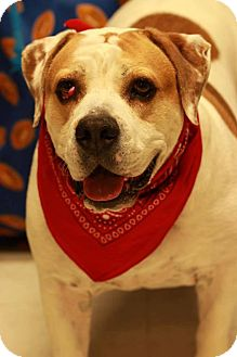 Bulldog/Beagle Mix Dog for adoption in Twin Falls, Idaho - Dozer