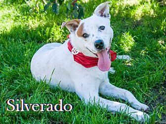 Australian Shepherd/Terrier (Unknown Type, Medium) Mix Dog for adoption in Hamilton, Montana - Silverado