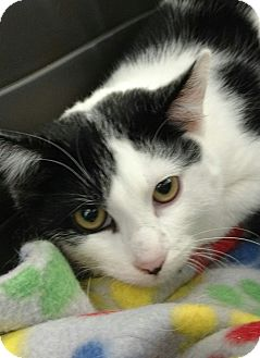 Domestic Shorthair Kitten for adoption in Randolph, New Jersey - Moonlight and Cookie