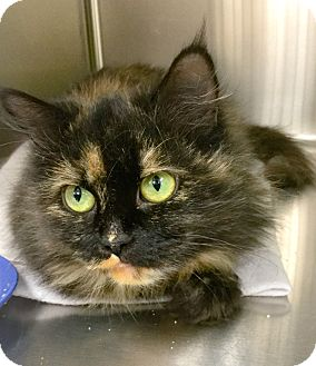 Domestic Mediumhair Cat for adoption in Webster, Massachusetts - Lucky