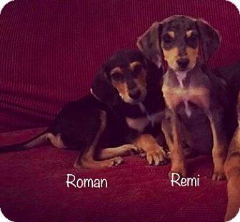 Hound (Unknown Type)/Dachshund Mix Puppy for adoption in East Hartford, Connecticut - Roman meet me 3/24