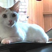 Adopt A Pet :: Jake (Turkish Van) - Houston, TX