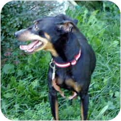 Miniature Pinscher Dog for adoption in Brockton, Massachusetts - Jett