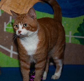 Domestic Shorthair Cat for adoption in Walla Walla, Washington - Chester