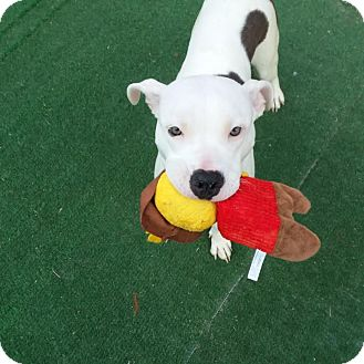 American Pit Bull Terrier Dog for adoption in Westminster, California - Opie