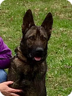German Shepherd Dog Mix Dog for adoption in Murphy, North Carolina - Apollo