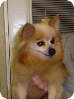 Pomeranian Dog for adoption in Long Beach, New York - Honey