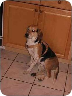 Beagle Mix Dog for adoption in London, Ontario - Burke