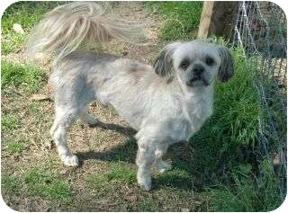 Shih Tzu Mix Dog for adoption in Vidor, Texas - Sammy