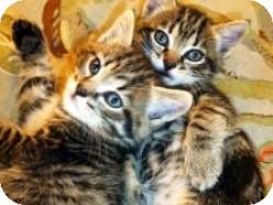 Domestic Shorthair Kitten for adoption in Pasadena, California - Bizou and Bentley