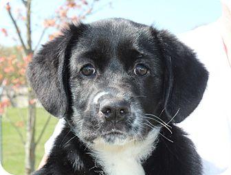 Labrador Retriever/Border Collie Mix Puppy for adoption in Washington, D.C. - Blossom