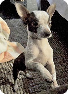 Chihuahua Mix Puppy for adoption in San Diego, California - Blinky