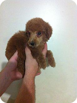 Toy Poodle Puppy for adoption in Treton, Ontario - Rosie