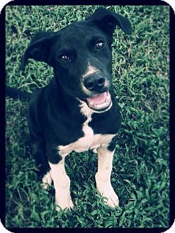 Labrador Retriever Mix Puppy for adoption in Brattleboro, Vermont - Rebel