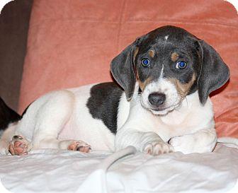 Beagle/German Shorthaired Pointer Mix Puppy for adoption in Huntsville, Alabama - Zane