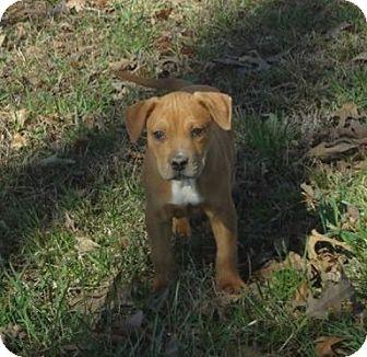 Mastiff/Boxer Mix Puppy for adoption in Naugatuck, Connecticut - Dash