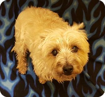 Cairn Terrier Mix Dog for adoption in Denver, Colorado - Toto