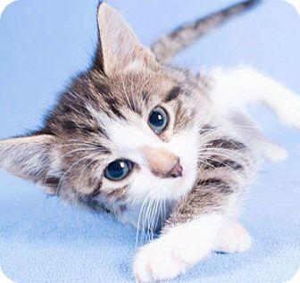 Domestic Shorthair Kitten for adoption in Edmonton, Alberta - Buttons