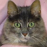 Domestic Mediumhair Cat for adoption in Renfrew, Pennsylvania - Pandora