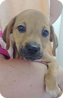 Dachshund/Hound (Unknown Type) Mix Puppy for adoption in Pompton Lakes, New Jersey - DOXIE TAN GIRL PUP