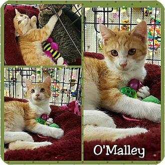 Domestic Shorthair Cat for adoption in North Richland Hills, Texas - O'Malley