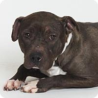 Pit Bull Terrier Mix Dog for adoption in Stockton, California - Nutmeg