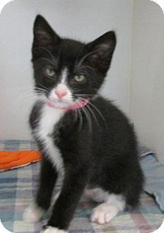 Domestic Shorthair Kitten for adoption in Aiken, South Carolina - SKY