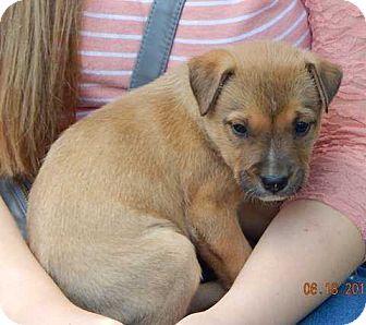 Shepherd (Unknown Type)/Labrador Retriever Mix Puppy for adoption in SUSSEX, New Jersey - Legend (8 lb) Video!