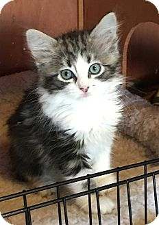 Domestic Longhair Kitten for adoption in Fort Worth, Texas - Marilyn