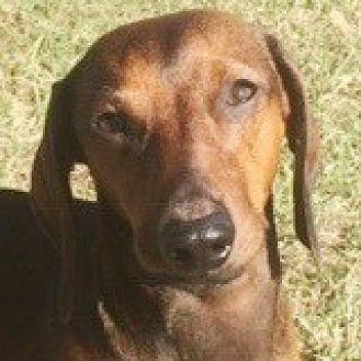 Dachshund Dog for adoption in Houston, Texas - Sully Snap