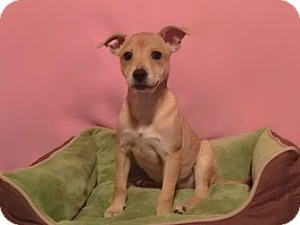 Chihuahua/Boxer Mix Puppy for adoption in Atlanta, Georgia - Rue