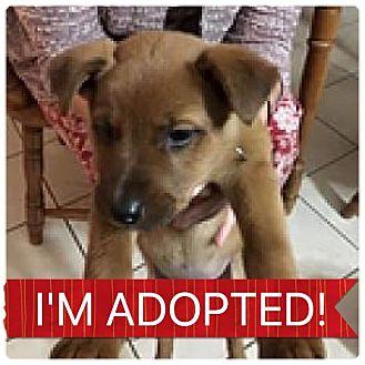 Labrador Retriever/Shepherd (Unknown Type) Mix Puppy for adoption in Regina, Saskatchewan - Jasper