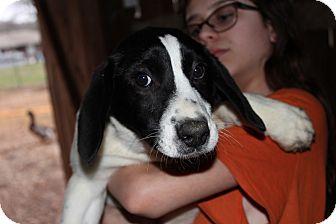 Labrador Retriever/Collie Mix Puppy for adoption in Harmony, Glocester, Rhode Island - Al