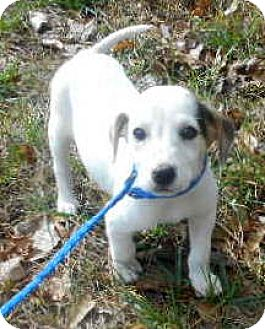 Beagle/Rat Terrier Mix Puppy for adoption in Allentown, New Jersey - Edith