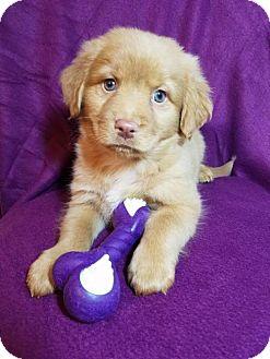 Labrador Retriever/Border Collie Mix Puppy for adoption in Elkton, Maryland - Gabby