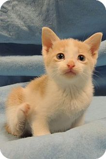 Domestic Shorthair Kitten for adoption in Sullivan, Missouri - Alvin