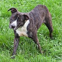 Adopt A Pet :: Stella - Bedford, IN