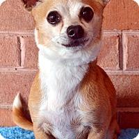 Adopt A Pet :: Chopper - Bridgeton, MO