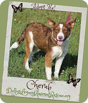 Australian Shepherd/Border Collie Mix Dog for adoption in Lincoln, Nebraska - CHERUB