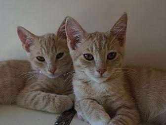 Domestic Shorthair Kitten for adoption in Woodland Hills, California - Rita & Madden