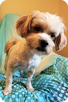 Shih Tzu Mix Dog for adoption in Hagerstown, Maryland - Shaggs