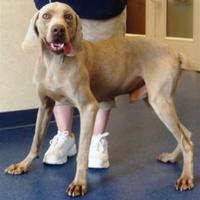 Adopt A Pet :: Dozer - Manassas Park, VA