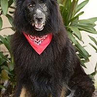 Adopt A Pet :: Bear - Rancho Palos Verdes, CA