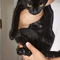 Polydactyl/Hemingway Kitten for adoption in Tuckerton, New Jersey - Salem